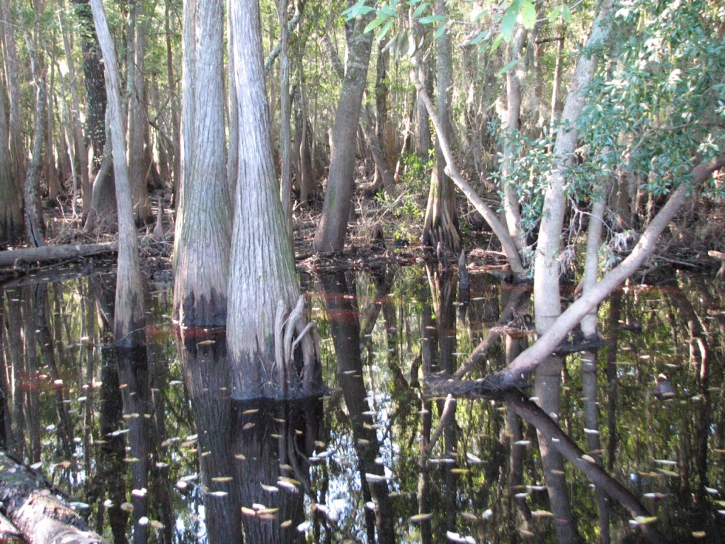 Swamp at Suwannee Sill